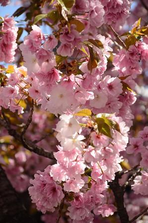 妙覚寺門前の八重桜