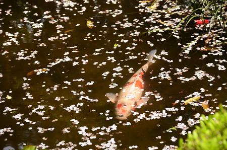 逝く春を泳ぐ