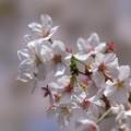 元祖とろける桜