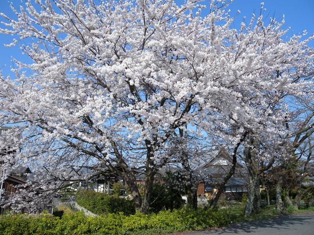 「浄立寺」の大木2