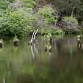 Photos: 湖面に立ち枯れの木