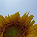 Photos: 青空と向日葵
