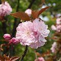 Photos: 八重桜~宮崎で