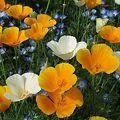 Photos: カリフォルニアポピー(オレンジ&ホワイト)