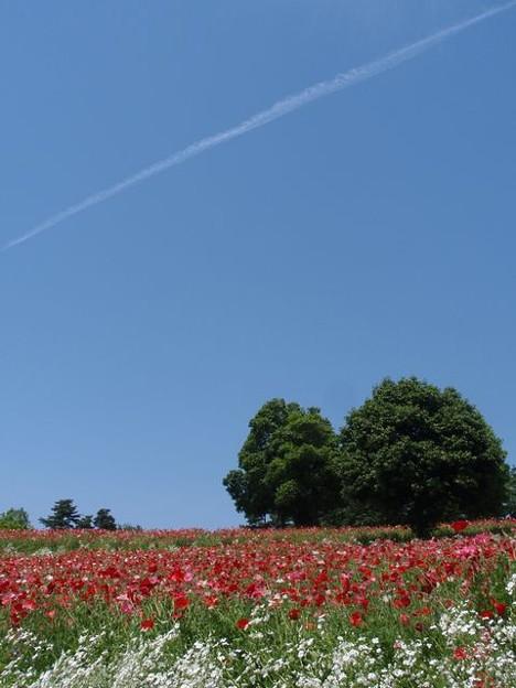 Photos: ポピーの丘に飛行機雲!