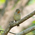 写真: オジロヒタキ(Red Throated Flycatcher) P1050151_R