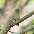 写真: オジロヒタキ(Red Throated Flycatcher) P1050151_R