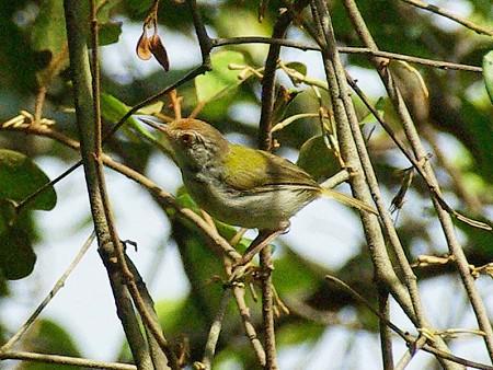 オナガサイホウチョウ(Common Tailorbird) IMGP47518_R