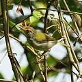 Photos: オナガサイホウチョウ(Common Tailorbird) IMGP47518_R