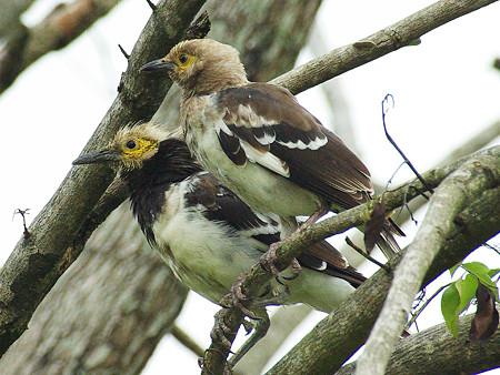 クビワムクドリ(Black-collared Starling) IMGP48261_R