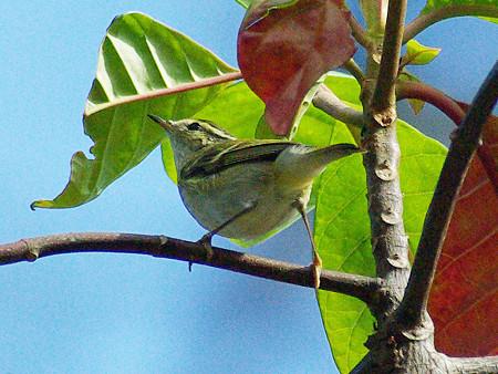 キマユムシクイ(Yellow-browed Warbler) IMGP50116_R