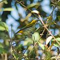 Photos: ムナフハナドリ(Yellow-vented Flowerpecker) IMGP53234_R