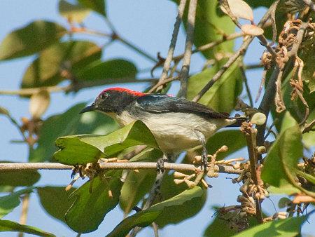 セアカハナドリ(Scarlet Flowerpecker) IMGP53594_R