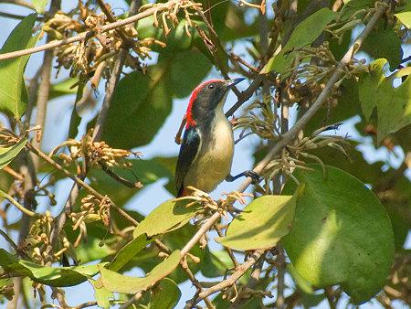 セアカハナドリ(Scarlet Flowerpecker) IMGP53587_R