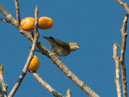 アオハナドリ(Plain Flowerpecker) IMGP53888_R