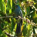 Photos: ウスヒメアオヒタキ(Pale Blue Flycatcher) IMGP102926_R