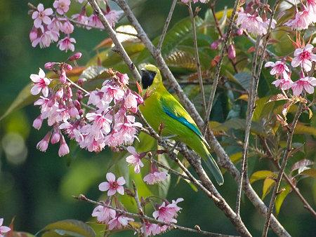 アオバネコノハドリ(Blue-winged Leafbird) IMGP102418_R