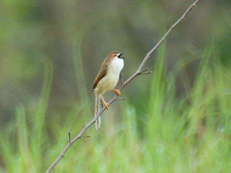 キンメセンニュウチメドリ(Yellow-eyed Babbler) IMGP114386_R