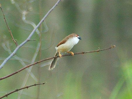 キンメセンニュウチメドリ(Yellow-eyed Babbler) IMGP114404_R