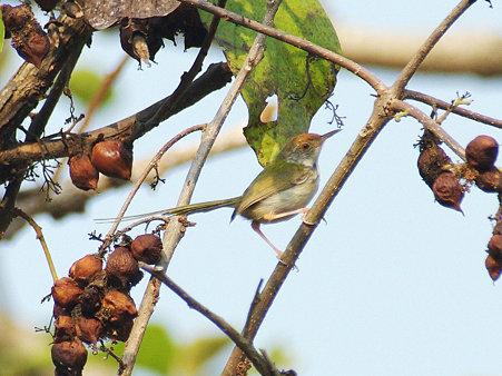 オナガサイホウチョウ(Common Tailorbird) IMGP115333_R2