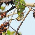 Photos: オナガサイホウチョウ(Common Tailorbird) IMGP115333_R2
