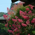 写真: 07,08,06本覚寺さるすべり