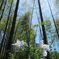 竹林に咲くシャガ