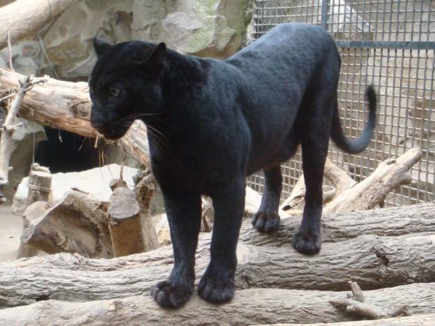 ヒョウ Leopard(クロヒョウ Black Panther)