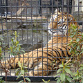 Photos: ベンガルトラ Bengal tiger