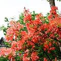 022 レンゲツツジ2 08年6月9日撮影 by ホテルグリーンプラザ軽井沢
