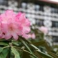 004 しゃくなげ1 2009年5月5日撮影 by ホテルグリーンプラザ軽井沢