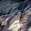 Photos: 糸蜻蛉2