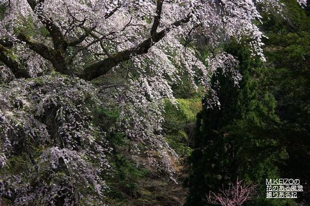 黒船の桜 (9)