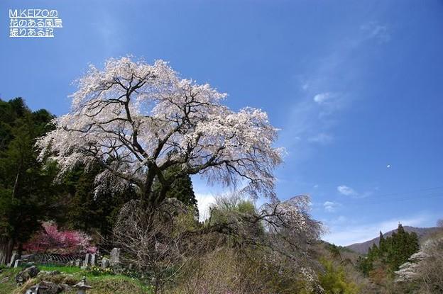 黒船の桜 (5)