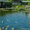 Photos: 【11】池の鯉