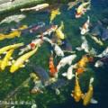 Photos: 【13】山古志村の鯉も