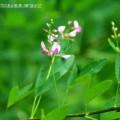 Photos: 【22】萩の花