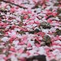 写真: 地上の花になっても美しい
