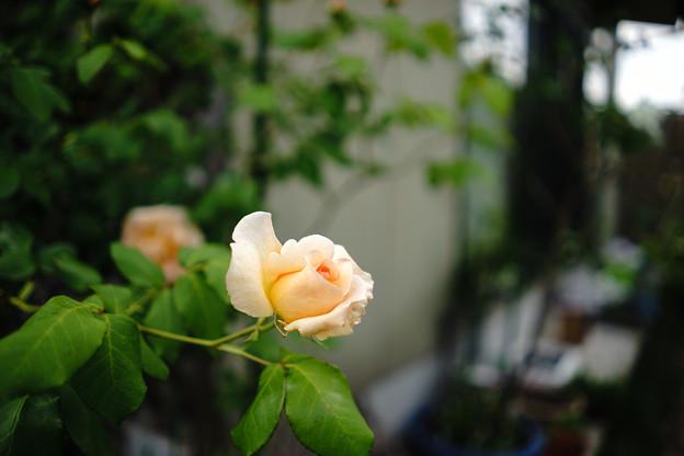 写真: バラ