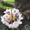 Photos: 桜の円