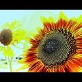 """""""太陽の花""""......."""