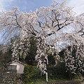 大原の枝垂れ桜