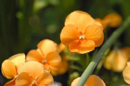 オレンジのビオラ