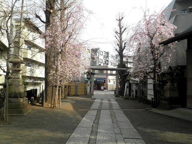池尻稲荷神社-桜-03