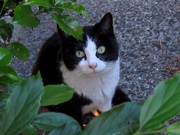 _140518 025 非対称黒白鉢割れ猫