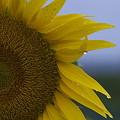 雨上がりの向日葵