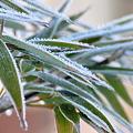 凍り笹竹2