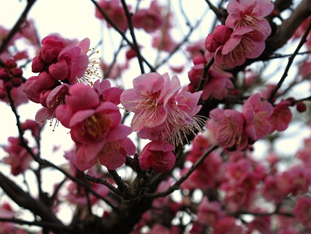 名古屋城の梅(道知辺)