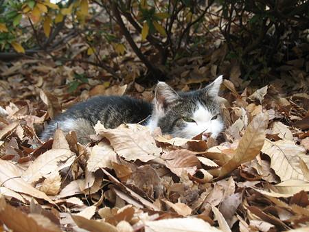落ち葉に埋もれる野良猫
