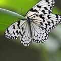 写真: オオゴマダラ  2羽います! (@^^@)